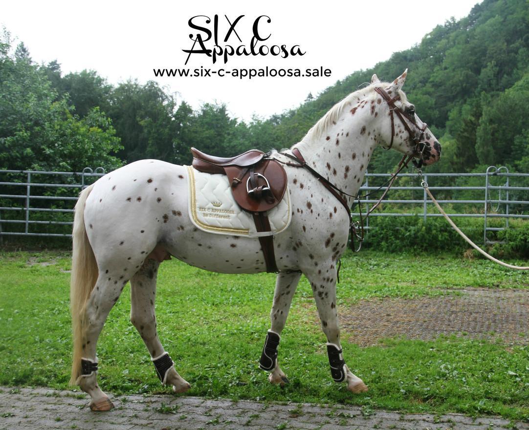 Appaloosa Old-Line   Appaloosa Foundation   Appaloosa Sport Horse   SIX C Appaloosa