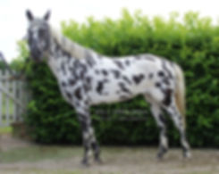 Appaloosa Old-Line Appaloosa Foundation Appaloosa Sport Horse Appaloosa Allrounder Hunter Equitation Hunt Seat Springreiten Dressurreiten Vielseitigkeitsreiten Westernreiten