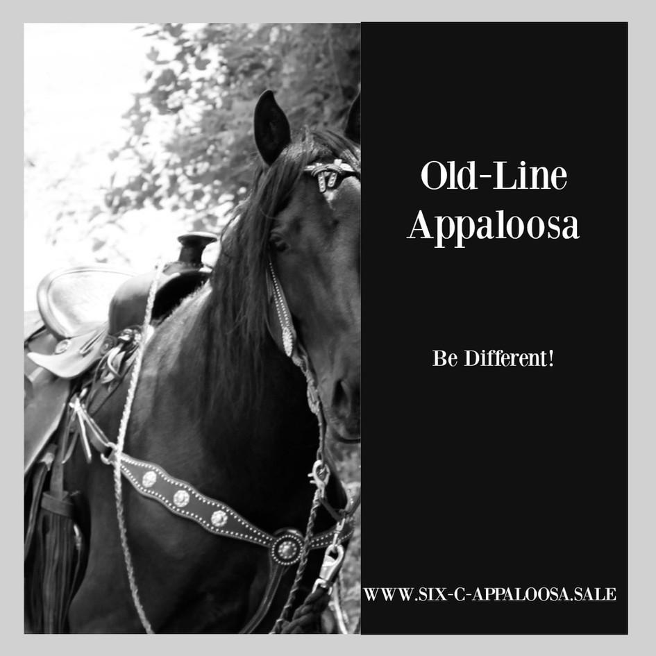 SIX C Appaloosa   Appaloosa Old-Line