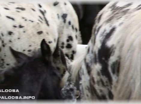 Appaloosa | Leopard Complex - Das Erbe der Fellfarben