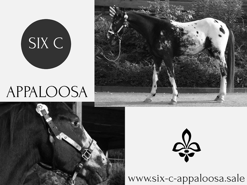 Appaloosa Old-Line | Appaloosa Foundation | Appaloosa Sport Horse | Sportaloosa | By SIX C Appaloosa