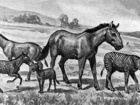 Appaloosa | Historische Spotted Horses
