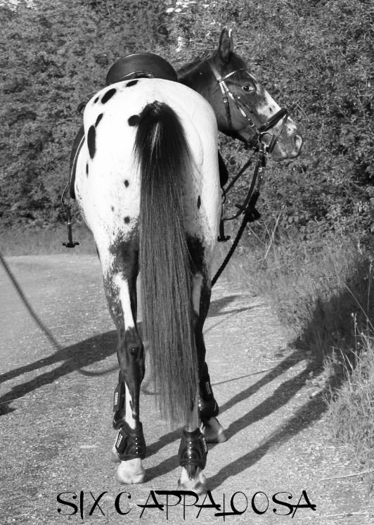 Appaloosa Old-Line | Appaloosa Foundation | Appaloosa Sport Horse | Spotted Appaloosa Horse | Palouse Horse | Nez Perce Horse | Sunspots Eclipse Appaloosa | Sunspot Revel Appaloosa | Revel Junior Appaloosa