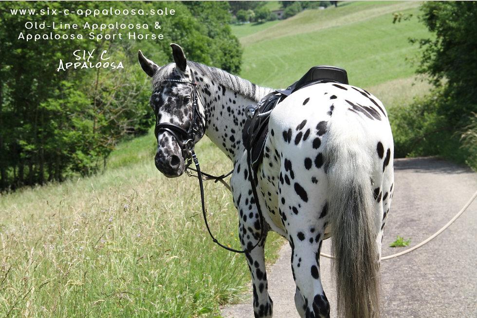 Appaloosa Old-Line Appaloosa Foundation Appaloosa Sport Horse Appaloosa Allrounder Hunter Equitation Hunt Seat Springreiten Dressurreiten Vielseitigkeitsreiten by SIX C Appaloosa
