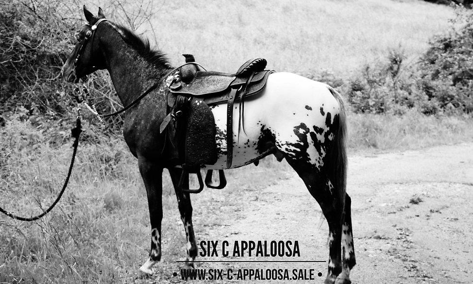 SIX C Appaloosa | Allrounder Appaloosa