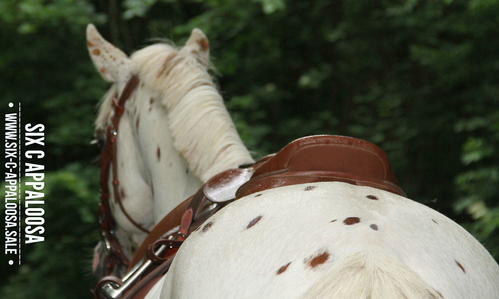 Appaloosa Old-Line   Appaloosa Foundation   Appaloosa Sport Horse   Sportaloosa   By SIX C Appaloosa
