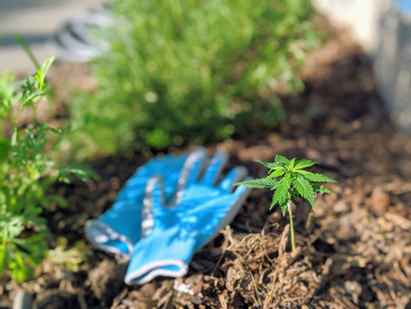 Easy Hemp Gardening Guide