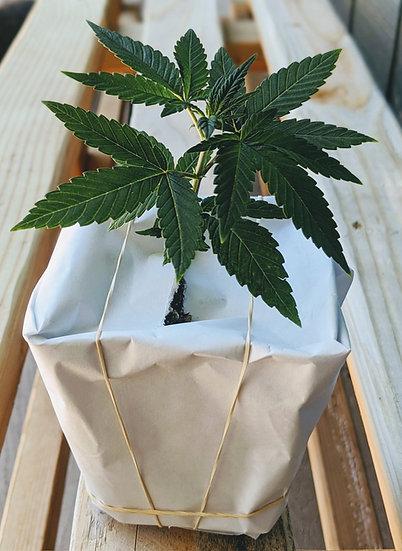 USDA Organic CBD Hemp Seedlings