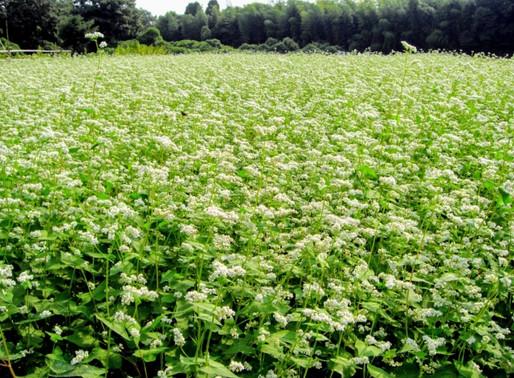 蕎麦に含まれるポリフェノールの一種、「ルチン」