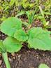 Des légumes vivaces au potager, faciles et utiles, mais quelques précautions à prendre !