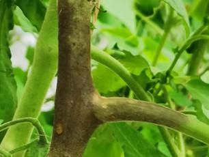 Le mildiou, la terreur du potager (ex aequo avec les limaces ! )