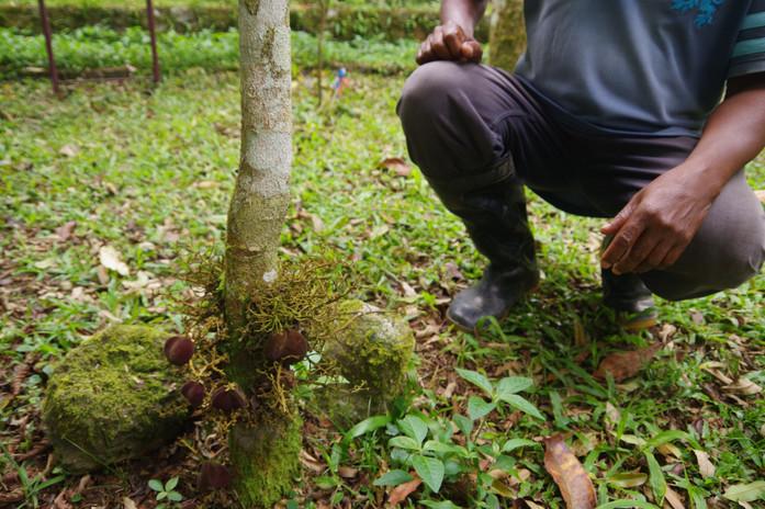 Pessegueiro de São Tomé (Chytranthus mannii), Jardin Botanique de Bom Sucesso