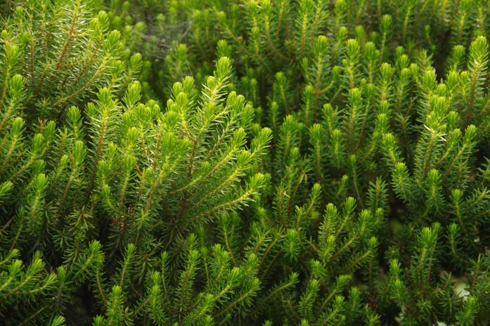 Urze (Erica thomensis), Jardin Botanique de Bom Sucesso