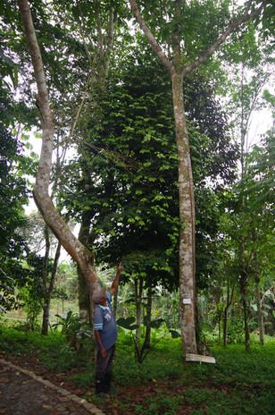 Obáta, Figueira-estranguladora (Ficus chlamydocarpa), Jardin Botanique de Bom Sucesso