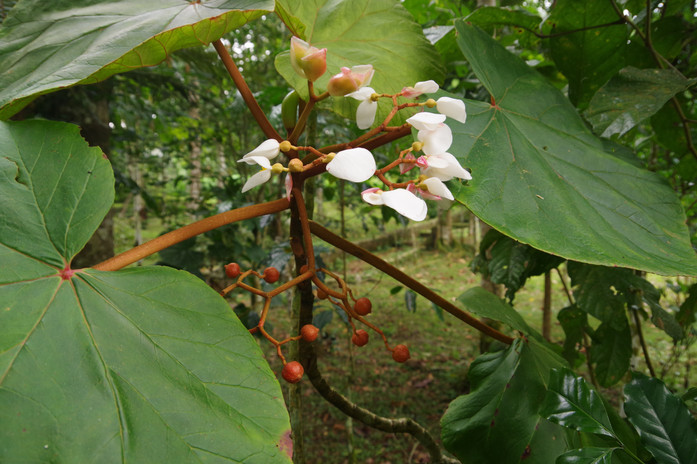 Fià-bôba, Fià-bôba-d'ôbo, Obáta, Figueira-estranguladora (Ficus chlamydocarpa), Jardin Botanique de Bom Sucesso