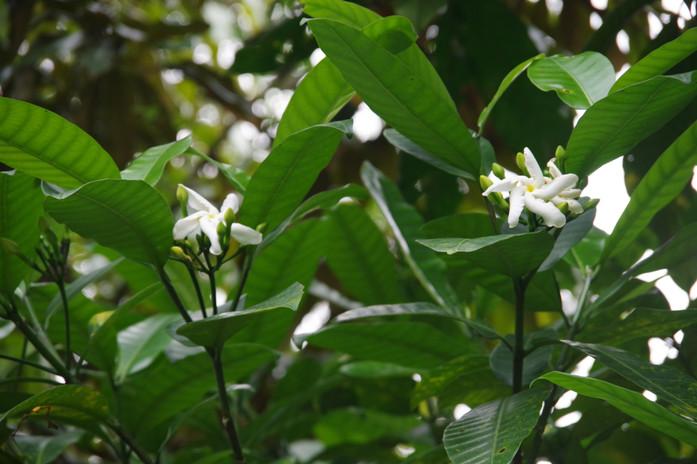 Cata d'Obô (Tabernaemontana stenosiphon), Jardin Botanique de Bom Sucesso