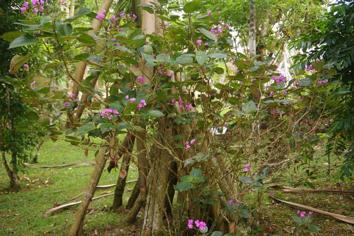 Calvoa (Calvoa crassinoda), Jardin Botanique de Bom Sucesso