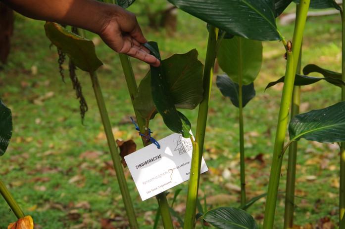 Zingiberaceae (Renealmia sanction-thomae), Jardin Botanique de Bom Sucesso