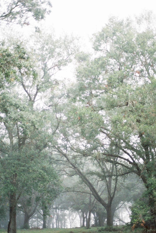 foggy spanish moss
