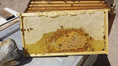 Beautiful frame of honey, pollen, and, brood