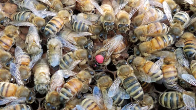 Queen bee laying an egg. Photo courtesy of Stuart  Shim