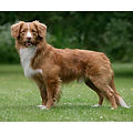 NOVA-SCOTIA-DUCK-TOLLING-RETRIEVER.jpg