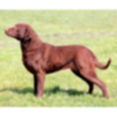 CHESAPEAKE-BAY-RETRIEVER.jpg