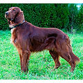 IRISH-RED-SETTER.jpg