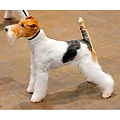 FOX-TERRIER-(WIRE).jpg