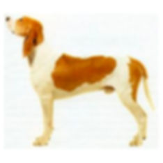 GREAT-ANGLO-FRENCH-WHITE-&-ORANGE-HOUND.