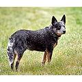AUSTRALIAN-CATTLE-DOG.jpg