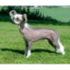 CHINESE-CRESTED-DOG.jpg