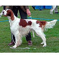 IRISH-RED-AND-WHITE-SETTER.jpg