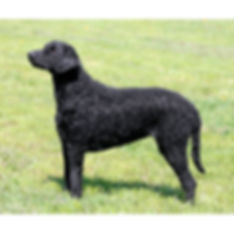 CURLY-COATED-RETRIEVER.jpg