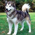 CANADIAN-ESKIMO-DOG.jpg