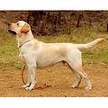 LABRADOR-RETRIEVER.jpg