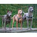 THAI-RIDGEBACK-DOG.jpg