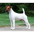 FOX-TERRIER-(SMOOTH).jpg