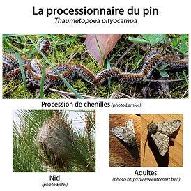 1-processionnaire-du-pin nid.jpg