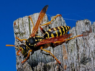10 Stinging Facts about Wasps!!