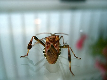 western-conifer-seed-bug-218551__340