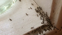 WHAT IS THAT SMELL? COULD IT BE ODOROUS HOUSE ANTS? 10  FACTS ABOUT ODOROUS HOUSE ANTS
