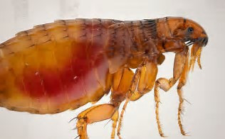 12 Freaky Flea Facts
