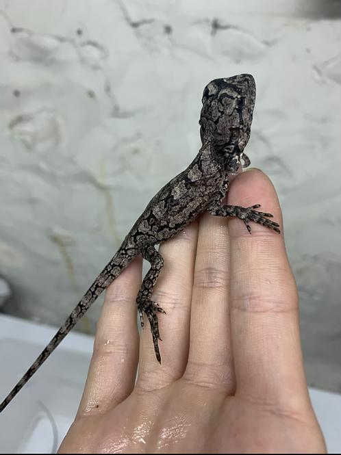 CB Australian Frilled dragon - Chlamydosaurus kingii