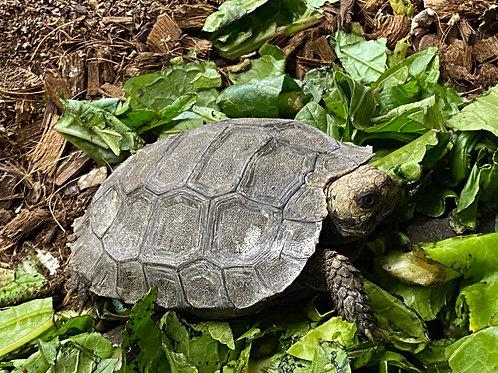 CB Burmese Brown Mountain tortoise - Manouria emys