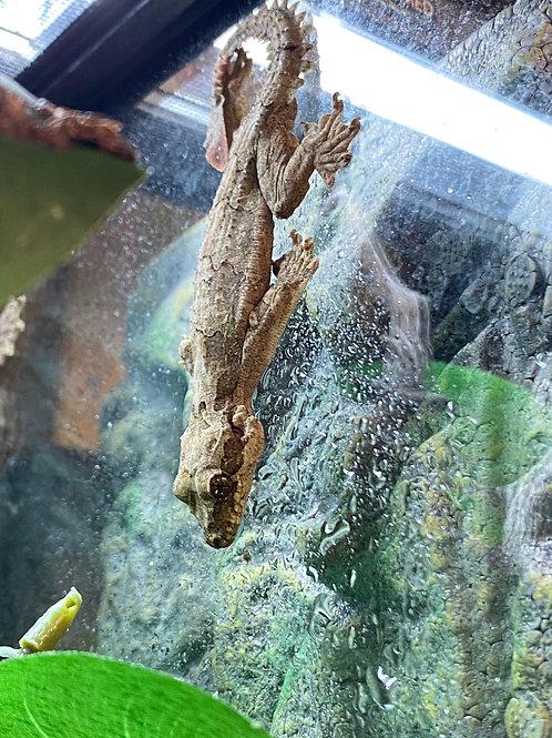 CB Flying geckos - Ptychozoon kuhli