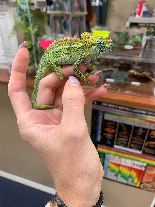 WC High Casque Chameleon - Trioceros hoehnelii