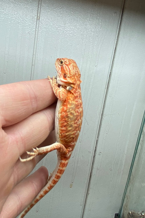 CB Bearded Dragon (Hypo leather)