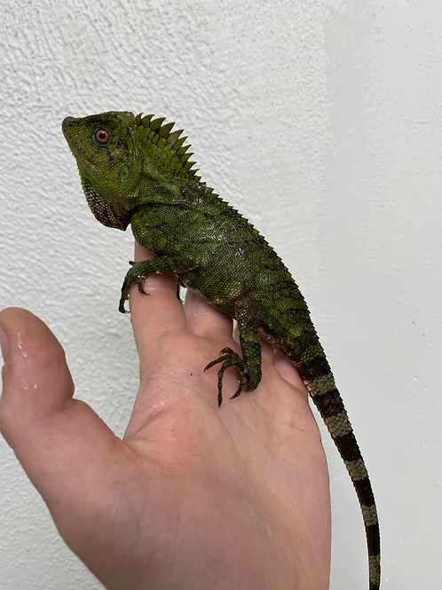 WC Blue eyed crested dragons -