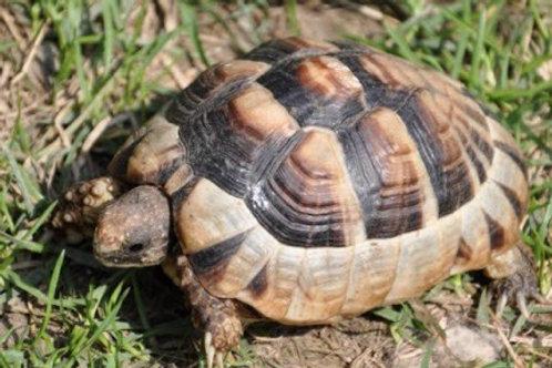 CB Marginated Tortoise - Testudo marginata